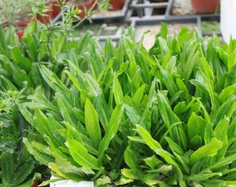 Culantro/Chandon beni/Recao - 50 seeds (Organic/non-GMO)