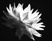 Dahlia, Fine Art, Black and White, Flower Photography