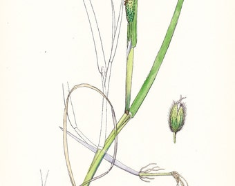 1902 British Botany Print - Fox Tail Grass - Vintage Antique Sowerby Art Illustration Book Plate Landscaping Farming 100 Years Old