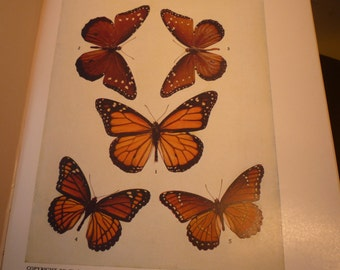 Vintage - Butterflies - Danais and Basilarchia - 1945 color plate - vibrant color prints - Natural world framable