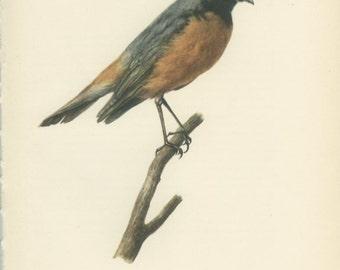 Redstart, Vintage Bird Print, Ornithology 117, Natural History 1959, Demartini, Country Cottage Decor, Rustic Cabin Decor, 8 x 10