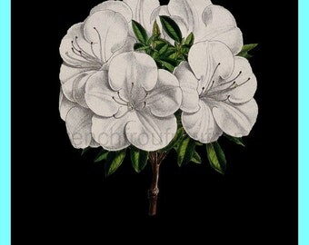 antique victorian french botanical print white azalea flower DIGITAL DOWNLOAD