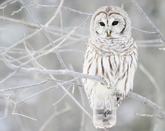 Owl Winter White Snow Forest Grey Gray Rust Feathers Tree Branches Birds North Woodsy Wildlife Nature Frozen Woods Photography Photo Print