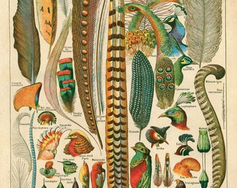 Feather Print Antique Plumes Bird Art Reproduction Poster - French Le Petit Larousse by Millot. Biology Educational Chart Science. CP201
