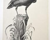 Art Print Sketch Raven by Bob Dale 1972 Vintage Art