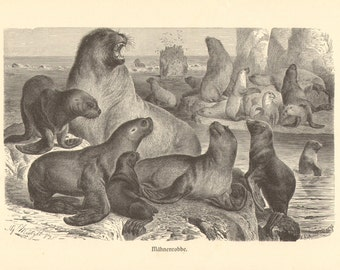 1892 South American Sea Lion or Patagonian Sea Lion - Otaria flavescens Original Antique Engraving to Frame