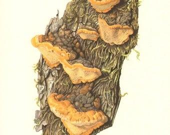 1962 Bracket Fungus, Osmoporus Odoratus Vintage Offset Lithograph