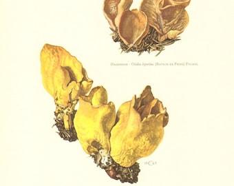 1963 Yellow Ear - Otidea leporina, Otidea concinna Vintage Offset Lithograph