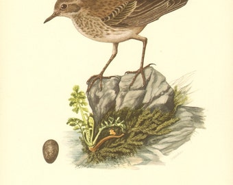 1953 Water Pipit - Anthus spinoletta Vintage Offset Lithograph