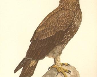 1953 Lesser Spotted Eagle - Aquila pomarina Vintage Offset Lithograph