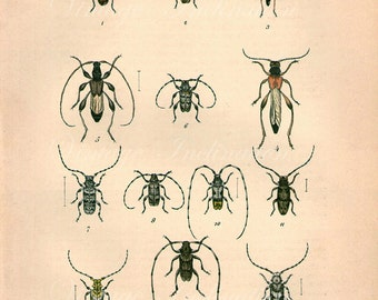 Antique print 1882. Colored Engraving. BEETLES 38. 133 years old print. Antique beetle insect print plate.9.5 x 6.5 inches, 24x16.5cm