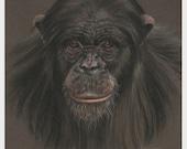 Chimpanzee Art, Original Pastel Drawing, Animal Painting 8 x 10, Not a Print, SFA, Small Format Art, Ape Wildlife Drawing, ADA-397OA
