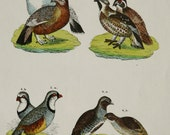 1854 Antique print of GAME BIRDS, different species. Hunting. Quarry. Ornithology. 163 years old rare engraving.