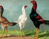 1899 Antique lithograph of ROOSTERS and HENS. Chicken. Poultry. Chickens. Rooster. Hen. Cock. 118 years old nice print