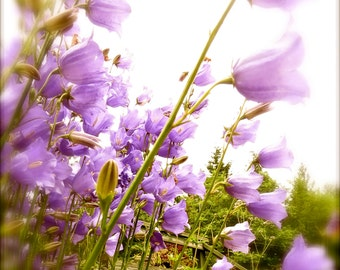 Nature Photography, Flowers, Purple, Green, Bluebells, Dreamy, Pacific Northwest, fPOE, Bluebells