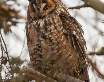 Long eared owl Owl Image, Owl Portrait, Nature Photography, Long Eared Owl Photo,