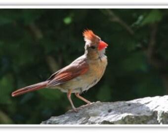 Iphone Case , Fine Art Photography, iPhone 4/4s, iPhone 5/5s, iPhone 6, New England Birds, Cardinal