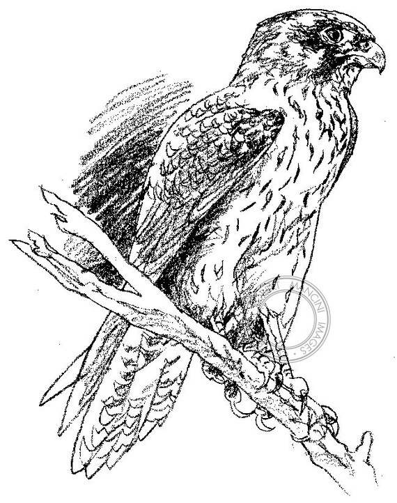 Brown Pencil Drawings Brown Falcon Pencil Drawing