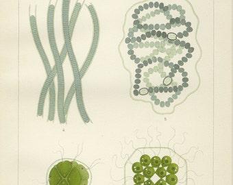 Matted Antique Fresh Water Algae Print  C. 1890 Chromolithograph Microorganism Beach Ocean Science Decor Gift