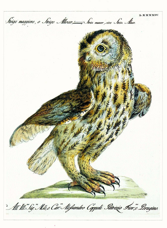 Large vintage print of Tawny Owl, painted by V. Vanni, beautifully detailed, matted for framing, 11 x 14 inches, 1990