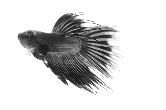 Items similar to carbon betta fish black and white for Black and white betta fish