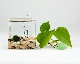 Marimo Moss ball small cube water terrarium