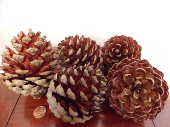 Five large monterey pine cones christmas decorations for Large pine cones