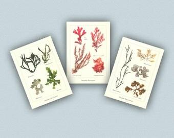 Seaweed art, Pressed seaweeds, 3 Seaweed Pressings,  Victorian Botanicals, Seaweed Pressing Artwork, nautical art, coastal art Decoration