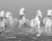 Five White Horses Fine Art Horse Photograph - Horse - Camargue - Black and White