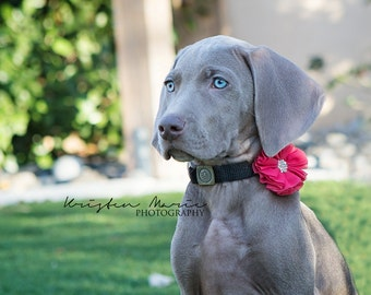 Dog collar flowers. Wedding pet flowers, Flower dog, flower dog collars, Wedding Pet Flowers, Dog Bow, Collar Bows, Bows for Dogs, girl dog