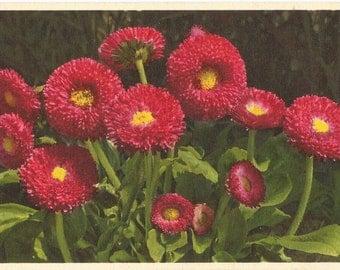Perennial Daisy,  ca. 1940 Unused Vintage Postcard, Thor E. Gyger, Switzerland  #789