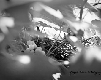 Bird Nest Photography,Grape Photography,Vinyard Photography,Nature Photography,Grapevine Print,Spring,Black and White Photography