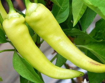 Sweet Banana Pepper Heirloom Seeds - Non-GMO, Open Pollinated, Untreated