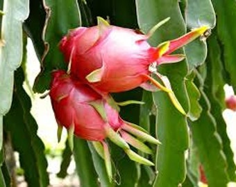 Dragon Fruit Seeds, Cactus Plant with Edible Fruit, Organic, Pitaya, Strawberry Pear, Night Blooming Cereus