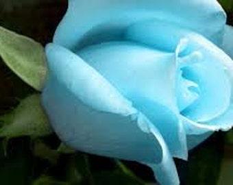 Blue Rose Seeds, Climbing Rose Bush, Perennial Flowering Shrub