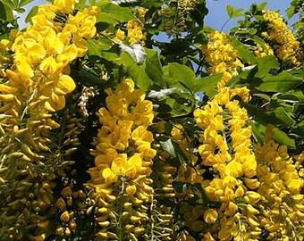Laburnum Alpinum - 50 Seeds - Scottish Laburnum