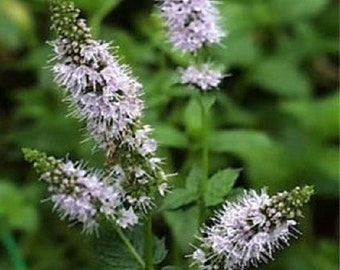 200 Seeds Peppermint Seeds Herb Seeds