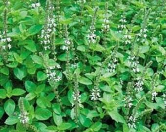 500 Sweet Marjoram Seeds Herb Seeds Marjoram Seeds
