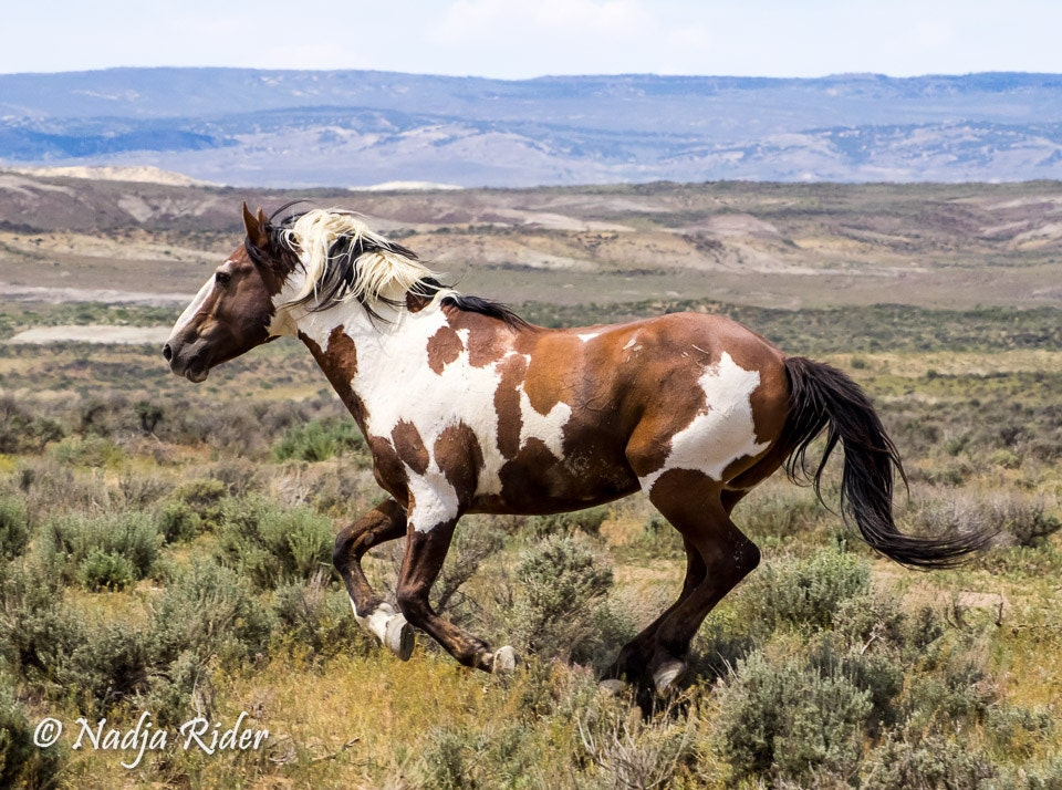 Picasso Wild Mustang Stallion Wild Horse By Creationsbynadja