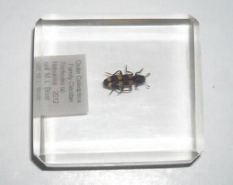 Checkered beetle, Coleoptera: Cleridae (Trichodes sp.) in lucite block
