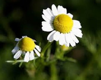 Organic Heirloom German Chamomile herb vegetable seeds  Fresh or dried, use them for a soothing tea or in many medicinal preparations.