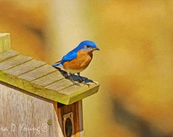 Male Bluebird, Bird Wall Art, Bird Photography, Fine Art Photography, Bluebird Closeup, Wooden Birdhouse, Songbird Art Print, Bird in Summer