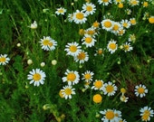 HERB SEEDS: CHAMOMILE 100 Seeds - Perfect For Tea, Apple Scent *Easy To Grow* High Quality & Germination - Fresh Seed