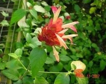 Beloperone Guttata Noah Shrimp Plant Red Blooms