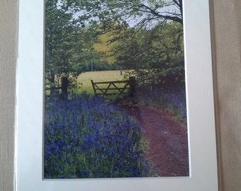 bluebell walk photo in 10x8 mount