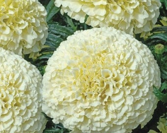Marigolds upright Flowers White annuals Seeds  from Ukraine #737