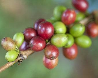 12 oz. Bag of Artisan Roasted Coffee Beans - Mancotal Apanas
