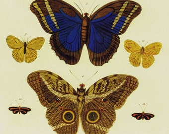 Butterfly Papillons South American Insects Seba Entomology Natural History Bug Lithograph Chart Poster Print