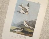 Vintage Bird Illustration - Snow Lark - Audubon Book Plate