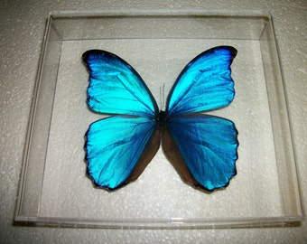 Blue Morpho Butterfly in Acrylic Frame